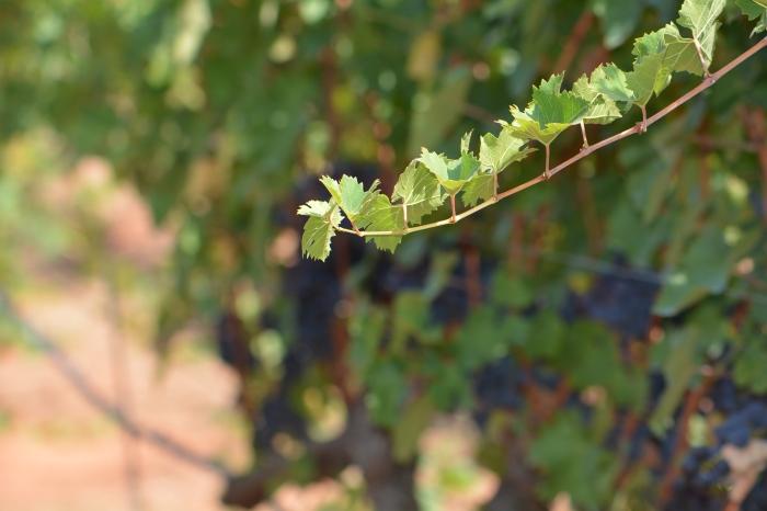 Vitigni autoctoni e potenzialità per la produzione di vinispumanti.